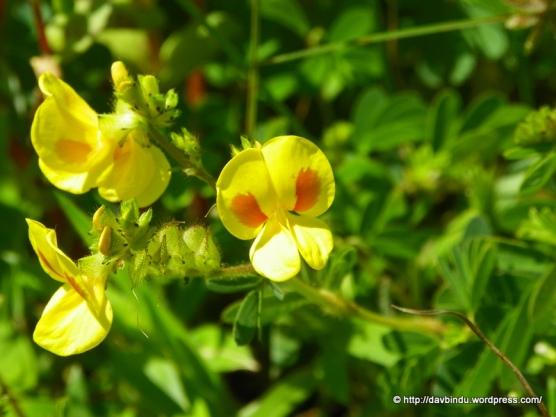 Kawla (Smithia hirsute- Micky Mouse Flower )