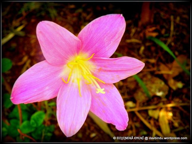 पाचगणी येथील फुलांच्या बागेतील मोहक फुल ...